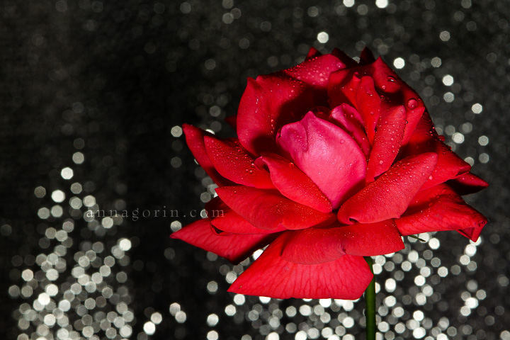 A rose is a rose is a rose | sparkle roses rosebud rose romance red photography petals nature love glitter flowers flower bokeh  | Anna Gorin Design & Photography, Boise, Idaho